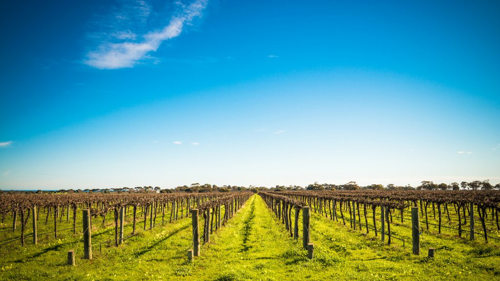 Vineyards and blue sky.